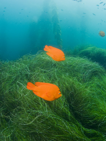 james-forte-group-of-garibaldi-fish-swimming-over-sea-grass-beds_i-G-38-3870-CE9JF00Z